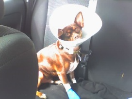Probably around 2006. He had to have a small growth removed from his paw. This was the first of a number of times (too many) that he had to wear the dreaded cone.